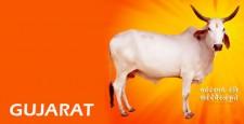 गुजरात, ओधव रिंग रोड, गांधीनगर, बहरामपुर, बूचड़खाने, के.पि.ओ. अस्पताल, मोहम्मद सिद्दीक बलम, IBTL