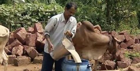 urea, gau kheti, gau sewa, indigenous, organic farming, kolhapur, maharashtra